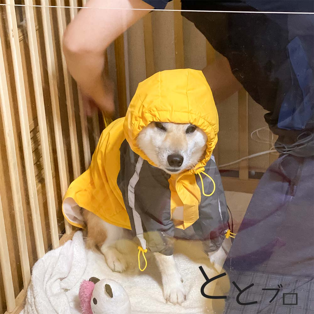 柴犬用おすすめカッパ(レインコート) 黄色 着させているとこ