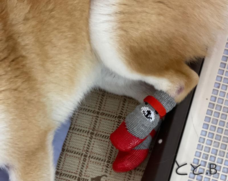 犬に靴下を着用した画像