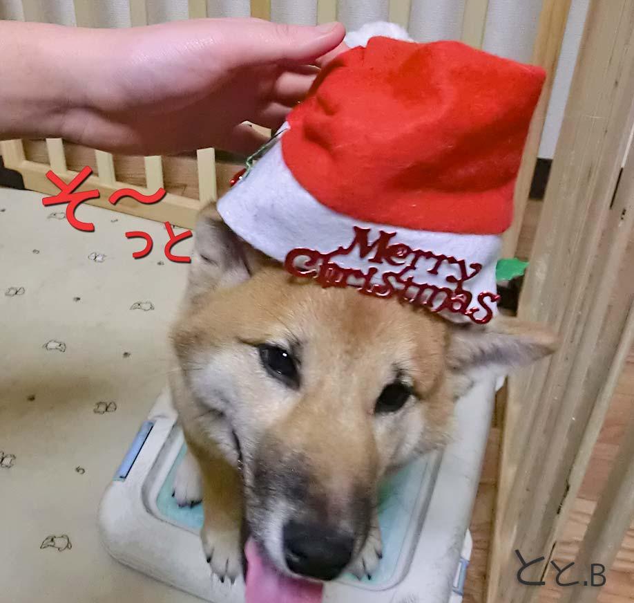 クリスマス かわいい柴犬画像がサンタ帽子を被る画像