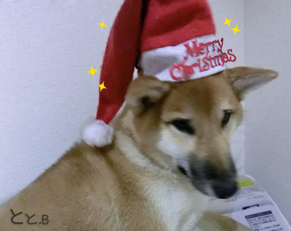 クリスマス かわいい柴犬がサンタ帽子を被る画像